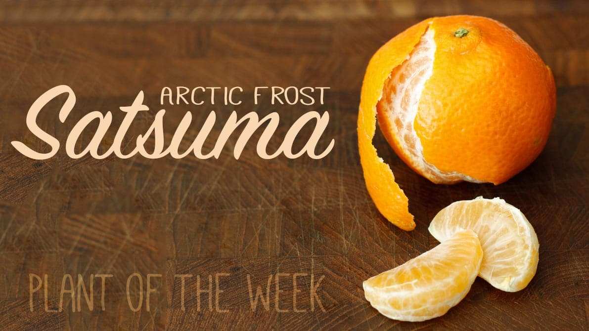 You can grow Arctic Frost Satsuma in Texas