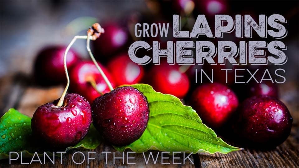 Grow Lapins Cherries in Texas