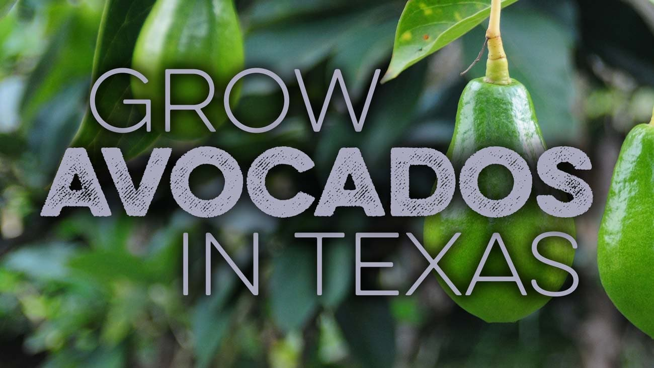 Learn about growing avocado in Texas
