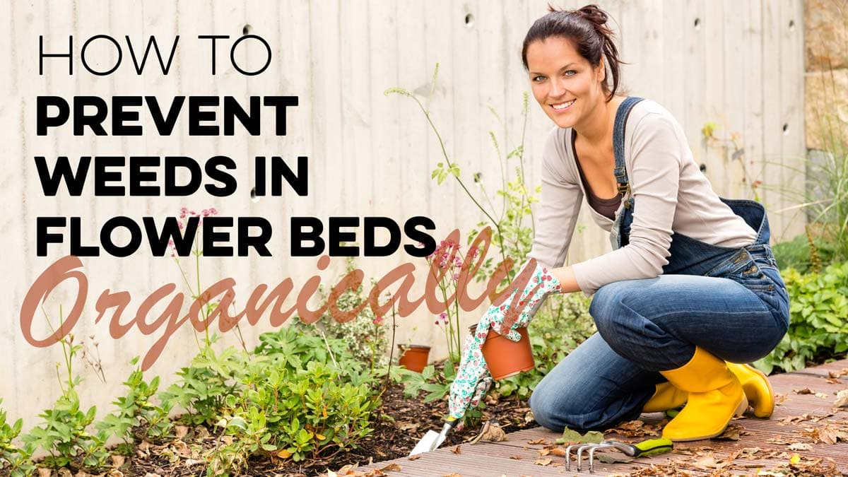 Stop weeds in flower beds - Learn How To Prevent Weeds In Flower Beds Organically