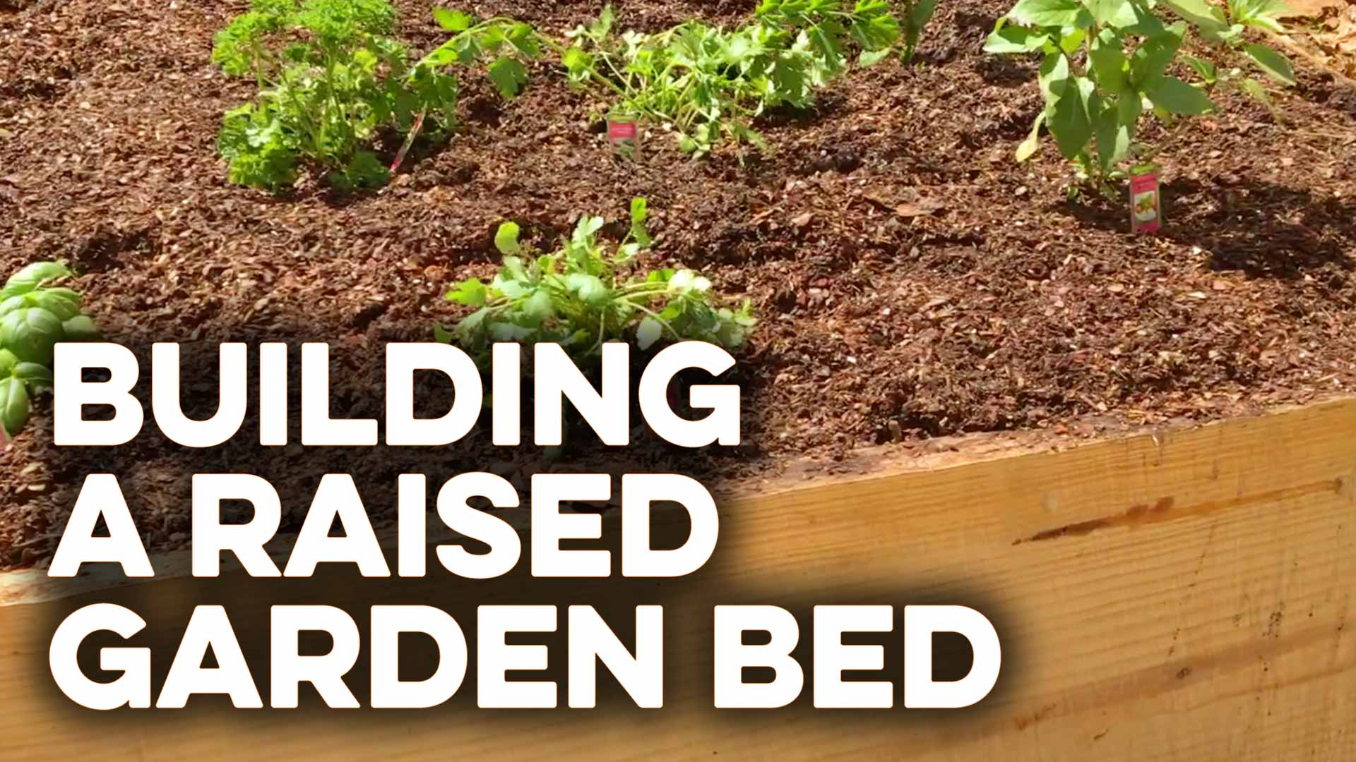 Building a raised garden bed with wood sides from a pine tree